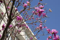 ピンク色の木蓮