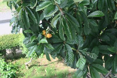 2-2の窓から見える枇杷の木