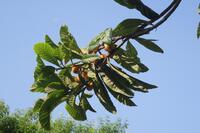 朝日に映える枇杷の枝