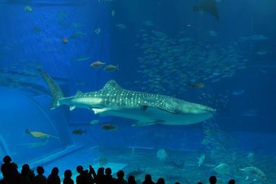 大きなジンベイザメ
